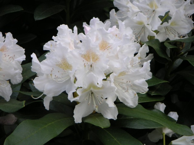 Rhododendron ´CUNNINGHAM´S WHITE´