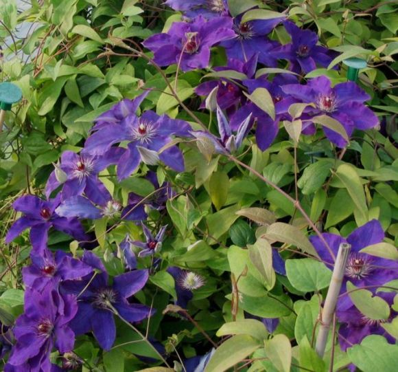 Clematis ´POLISH SPIRIT´